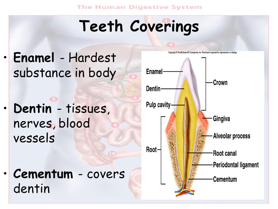 Teeth Coverings Enamel - Hardest substance in body