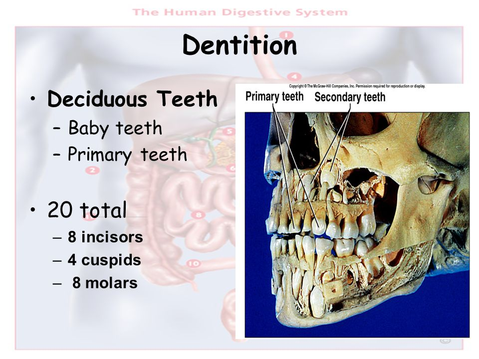 Dentition Deciduous Teeth 20 total Baby teeth Primary teeth 8 incisors