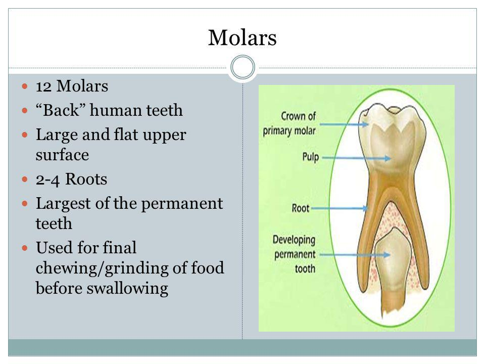 Molars 12 Molars Back human teeth Large and flat upper surface