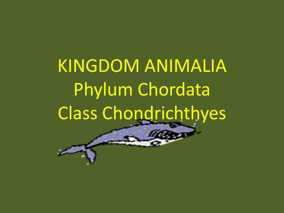 Image of: Phylum Chordata Presentation On Theme Flickr Kingdom Animalia Phylum Chordata Class Chondrichthyes Ppt Download