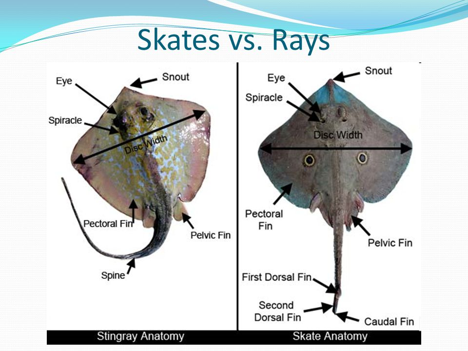Famous Sting Ray Anatomy Gallery - Anatomy And Physiology Biology ...