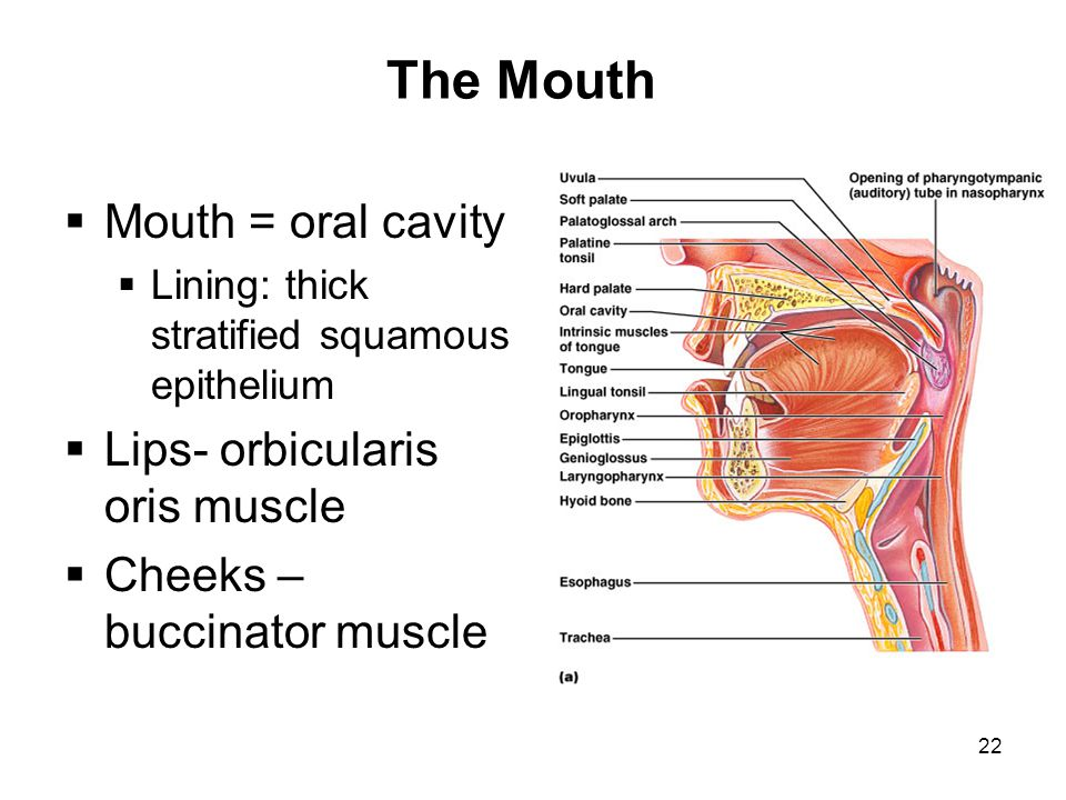 The Mouth Mouth = oral cavity Lips- orbicularis oris muscle