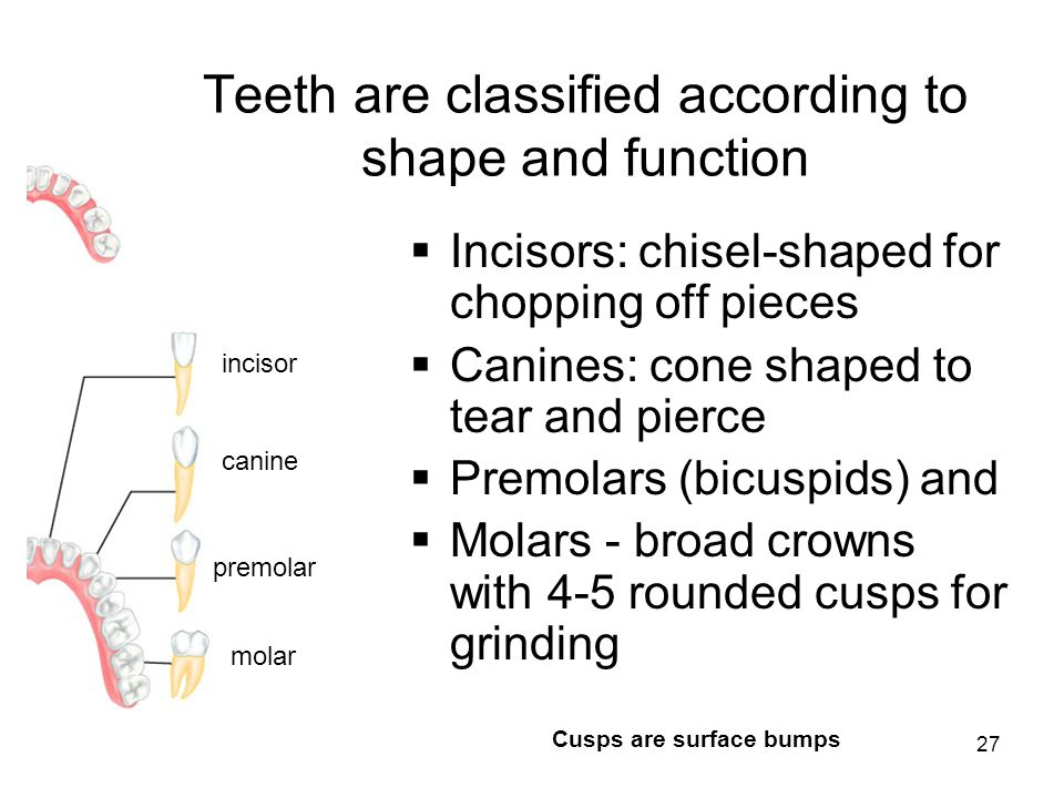 Teeth are classified according to shape and function