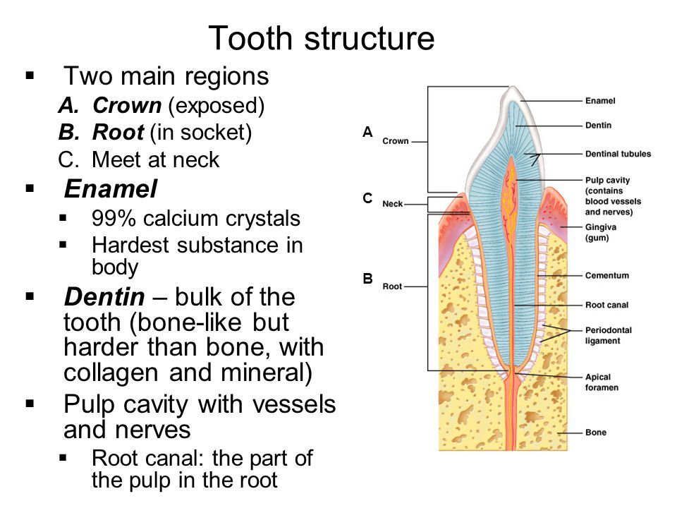 Tooth structure Two main regions Enamel