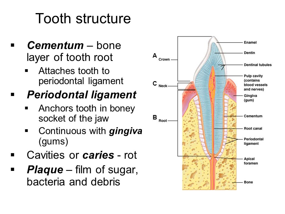 Tooth structure Cementum – bone layer of tooth root