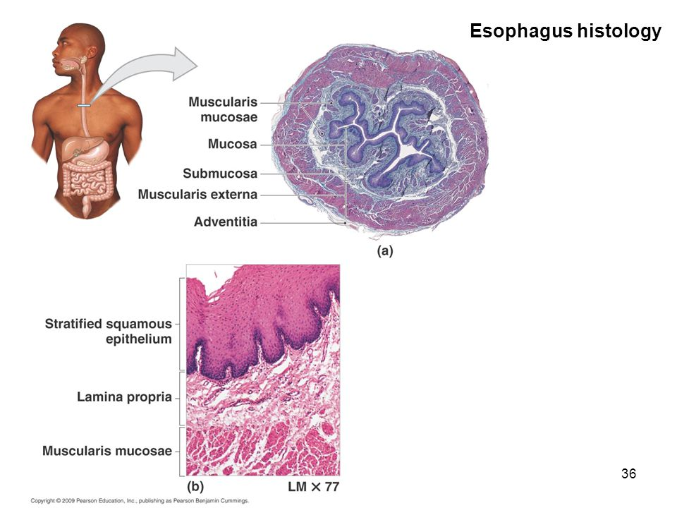 Esophagus histology