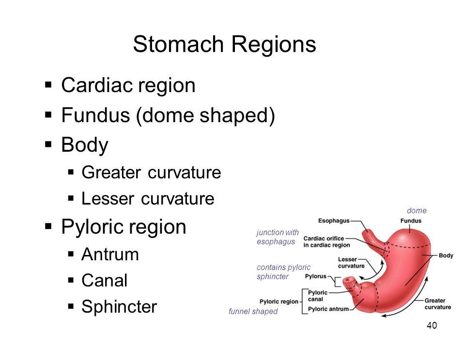 Stomach Regions Cardiac region Fundus (dome shaped) Body
