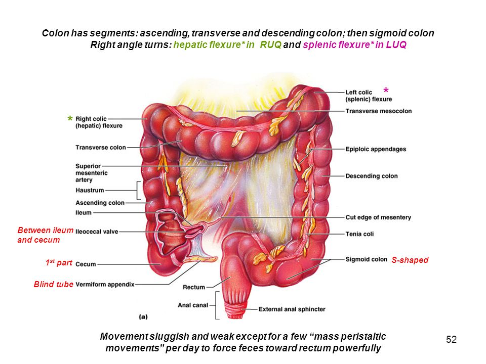 Colon has segments: ascending, transverse and descending colon; then sigmoid colon
