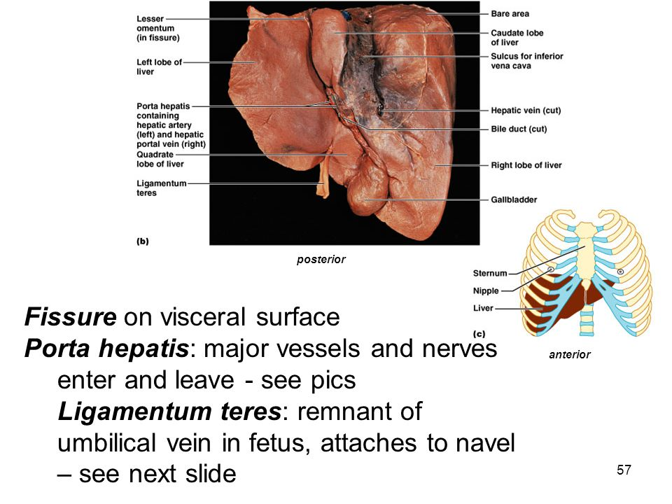 Fissure on visceral surface Porta hepatis: major vessels and nerves