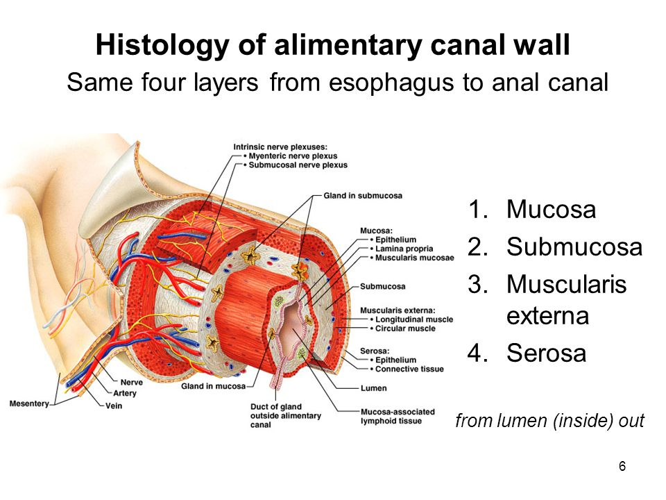 Histology of alimentary canal wall Same four layers from esophagus to anal canal