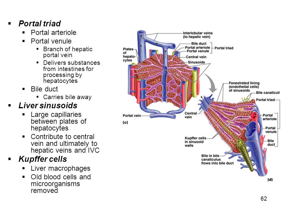 Portal Triad Liver Diagram House Wiring Diagram Symbols