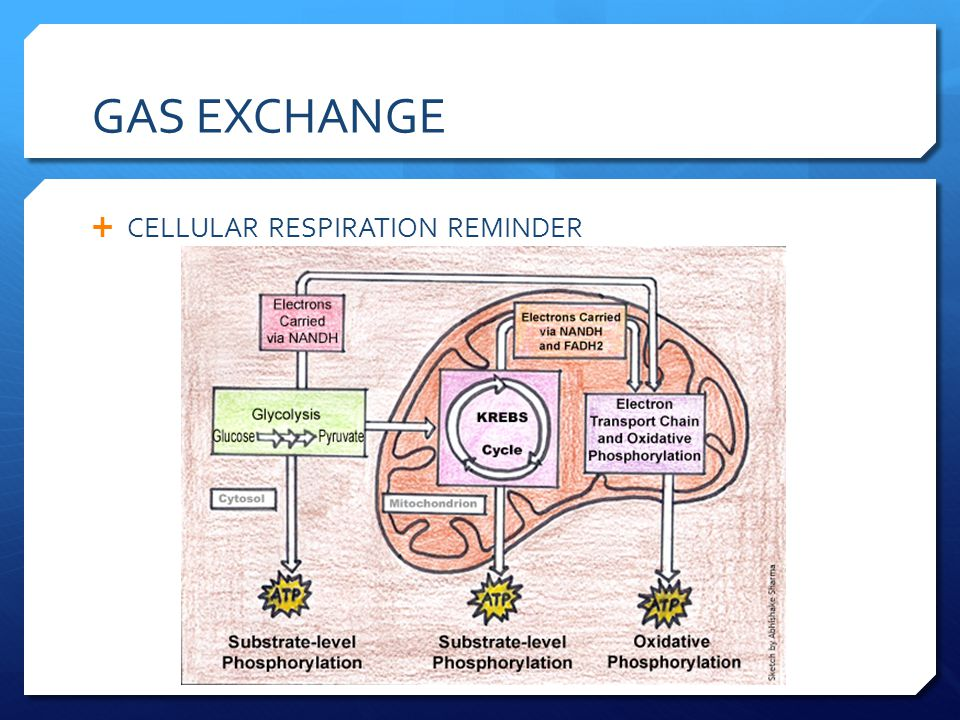 gas exchanges The reliable duration for measuring the gas exchanges from the abscised leaves is determined by leaf temperature 离体叶 the effect of tracheal gas insufflation on gas exchange efficiency 气管内气.