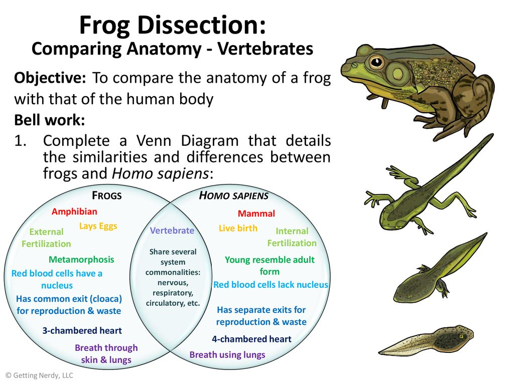 Frog Dissection: Comparing Anatomy - Vertebrates Objective: To compare the  anatomy of a frog with that of the human body Bell work: Complete a Venn. -  ppt download
