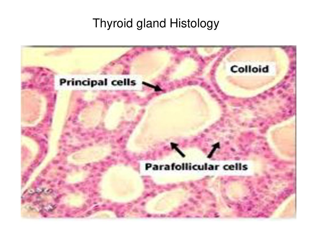 Thyroid 1 Th Synthesis Lecture No 2nd Mbbs Ppt Download