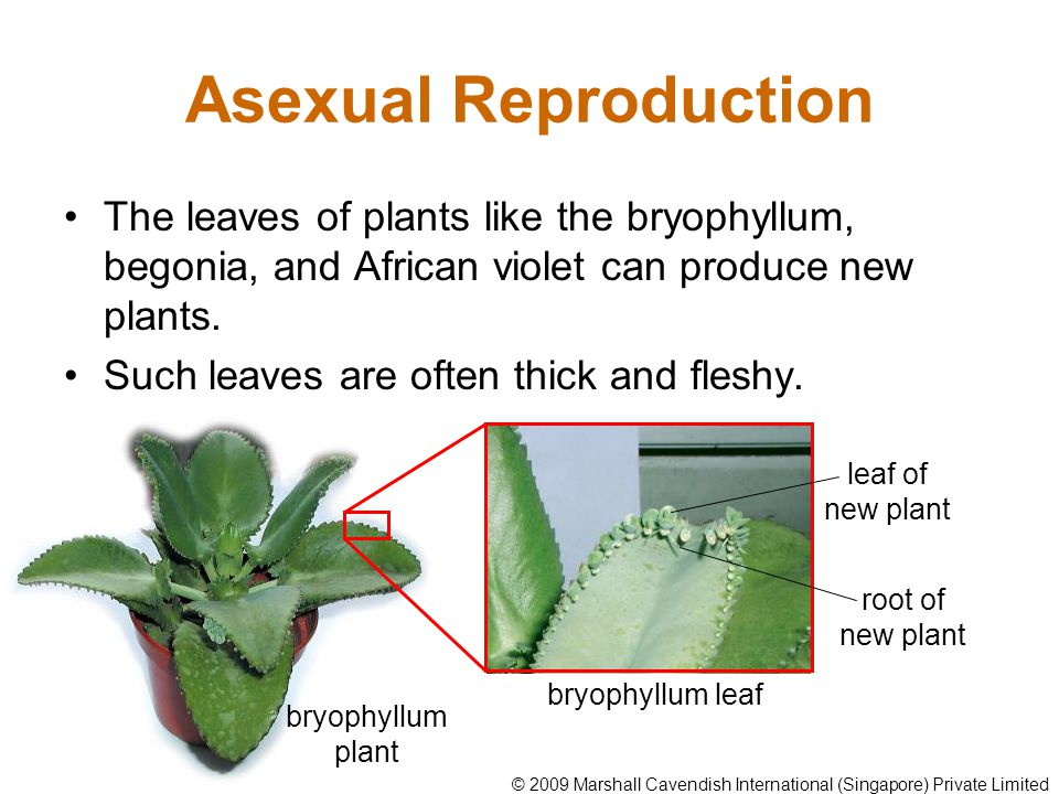 Bryophyllum vegetative propagation asexual reproduction