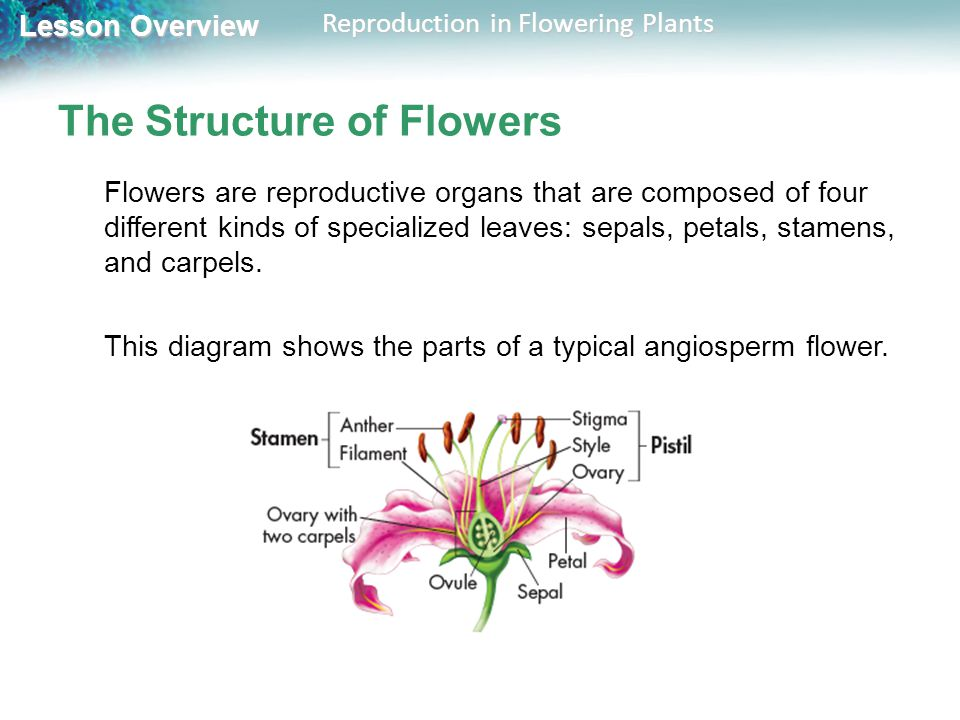 241 reproduction in flowering plants ppt video online download 241 reproduction in flowering plants ccuart Image collections