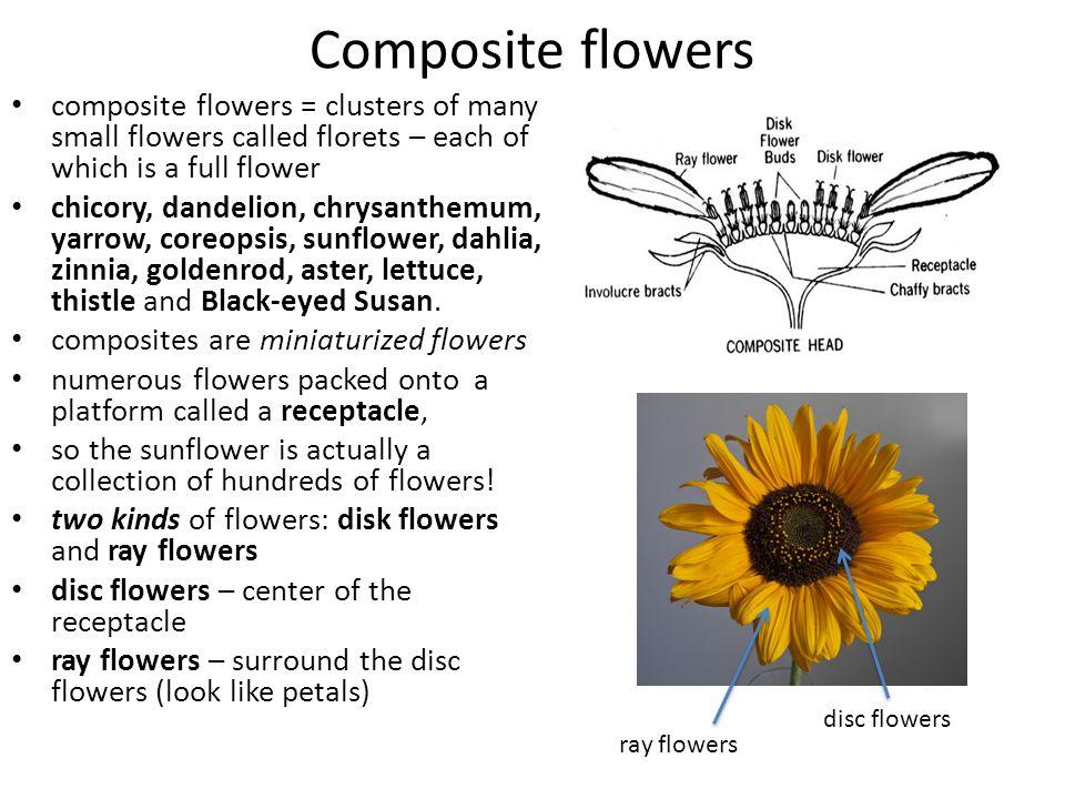 Zinnia Flower Diagram - Wiring Data