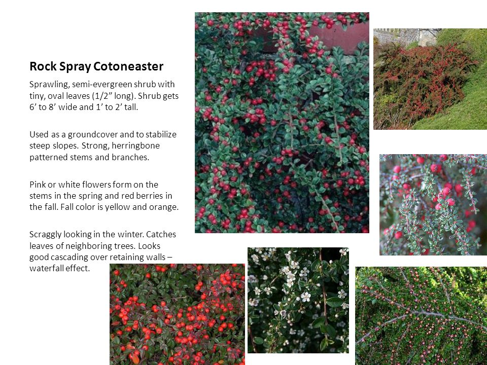 Glossy abelia semi evergreen ppt video online download 15 rock spray cotoneaster mightylinksfo