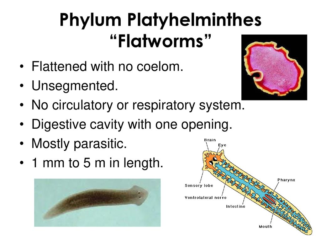 Platyhelminthes tip coelom Asemanari platyhelminthes nematoda annelida
