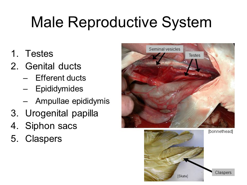 Reproductive Biology of Elasmobranchs - ppt video online download