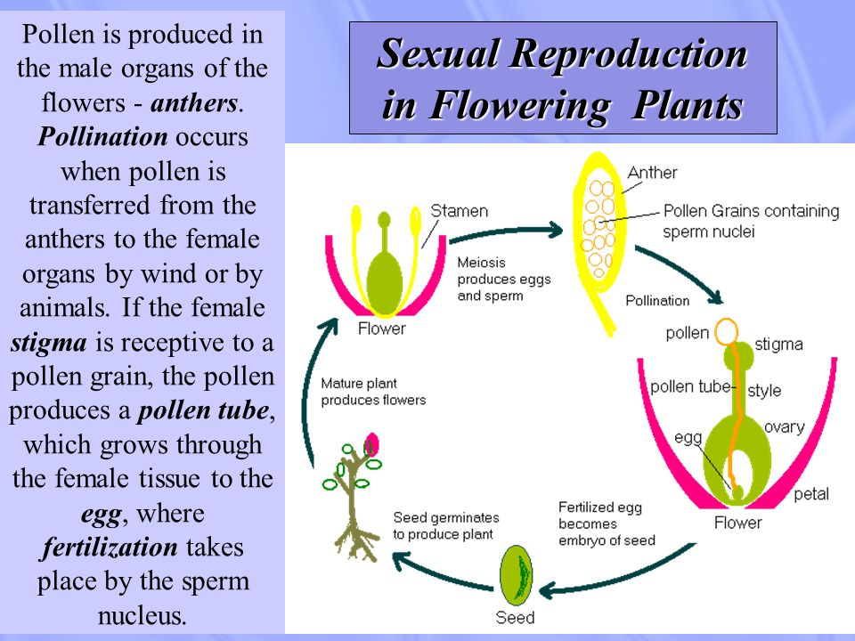 Sexual reproduction of invertebrates