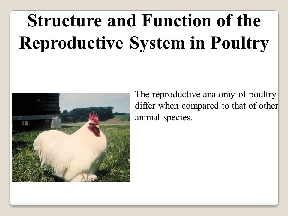 Reproduction in Poultry - ppt video online download