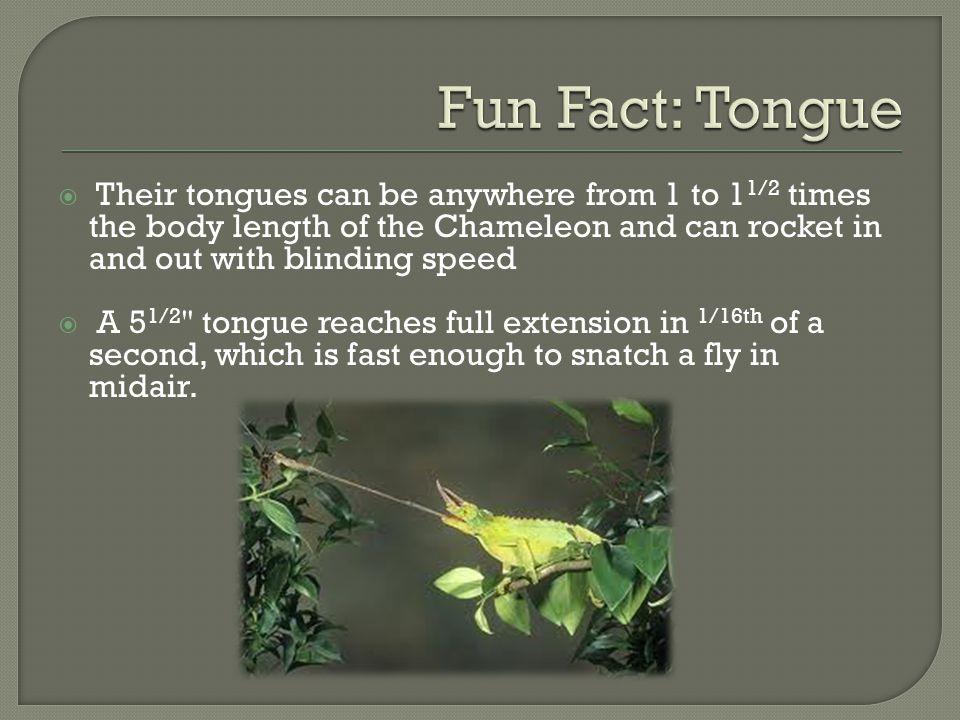 Chameleon Chamaeleonidae - ppt video online download