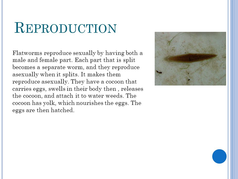 How do flatworms reproduce sexually