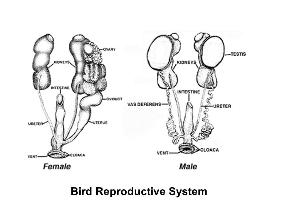 bird and urogenital systems endocrine diagram