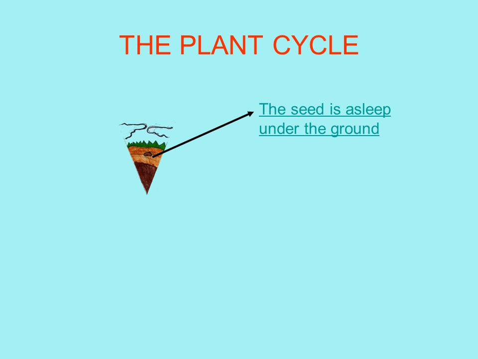 THE PLANT CYCLE The seed is asleep under the ground