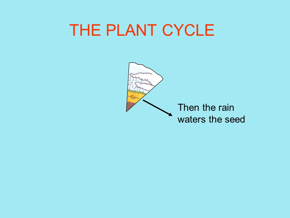 THE PLANT CYCLE Then the rain waters the seed