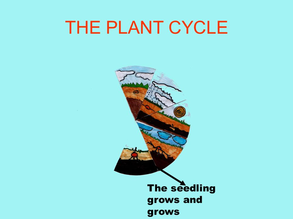 THE PLANT CYCLE The seedling grows and grows