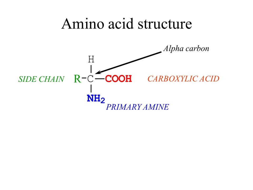 Amino acid structure H R C C O O H N H 2 Alpha carbon SIDE CHAIN