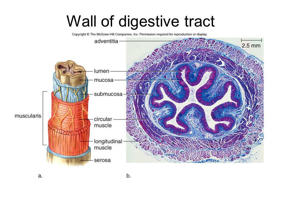 Wall of digestive tract