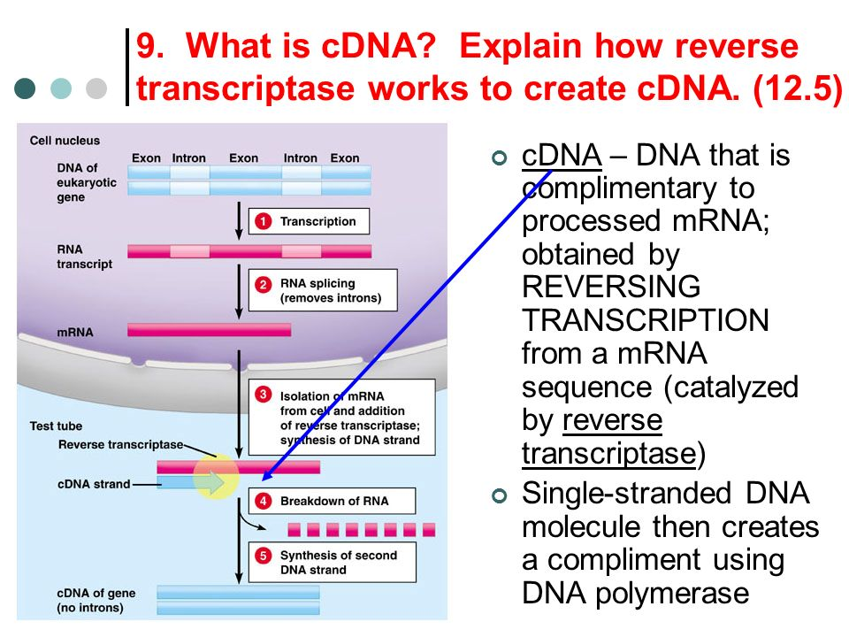 9. What is cDNA Explain how reverse transcriptase works to create cDNA. (12.5)