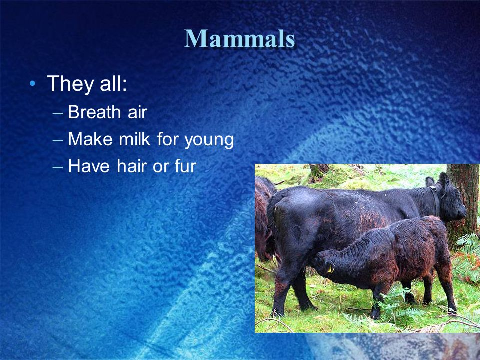 Mammals They all: Breath air Make milk for young Have hair or fur