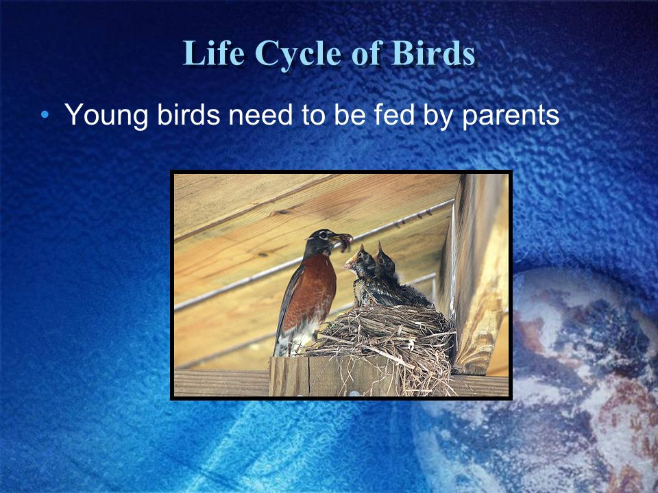 Life Cycle of Birds Young birds need to be fed by parents