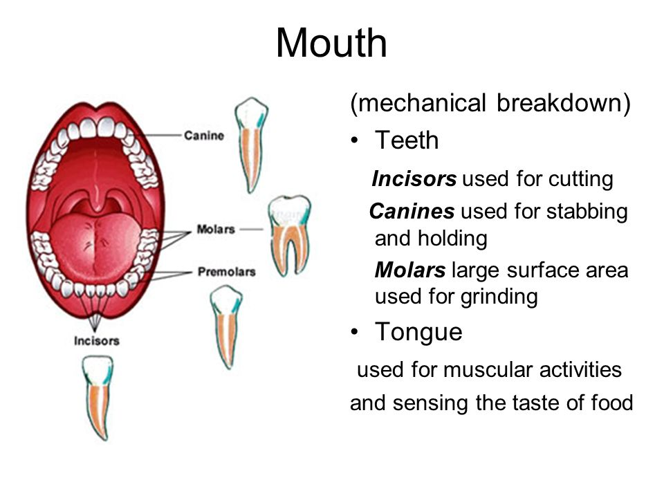 Mouth (mechanical breakdown) Teeth Incisors used for cutting Tongue