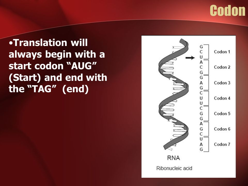 Codon Translation will always begin with a start codon AUG (Start) and end with the TAG (end)
