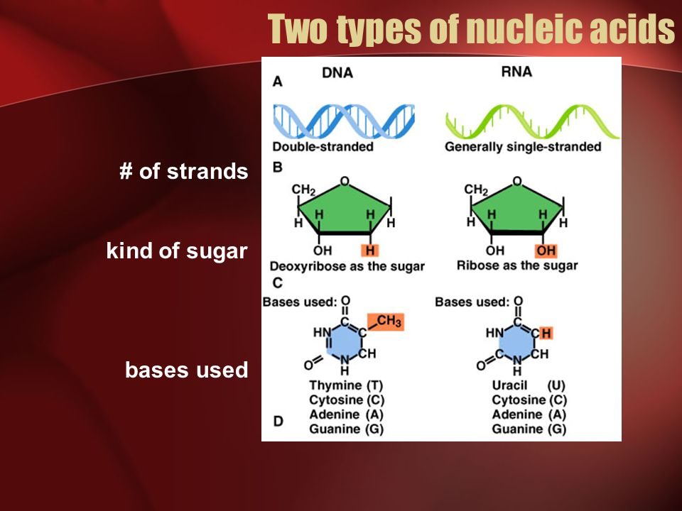 Two types of nucleic acids