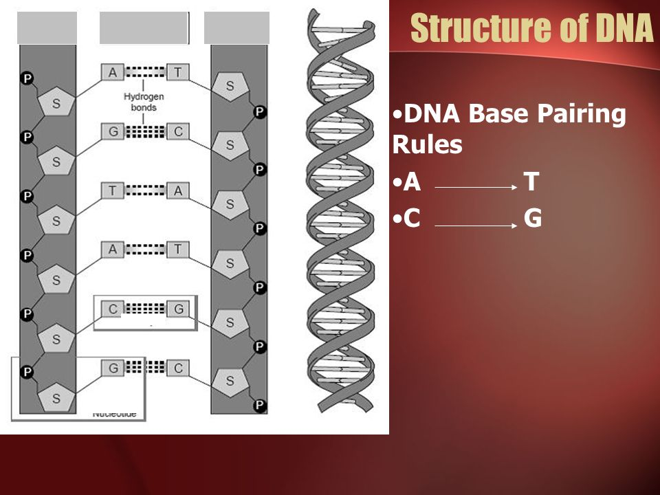 Structure of DNA DNA Base Pairing Rules A T C G