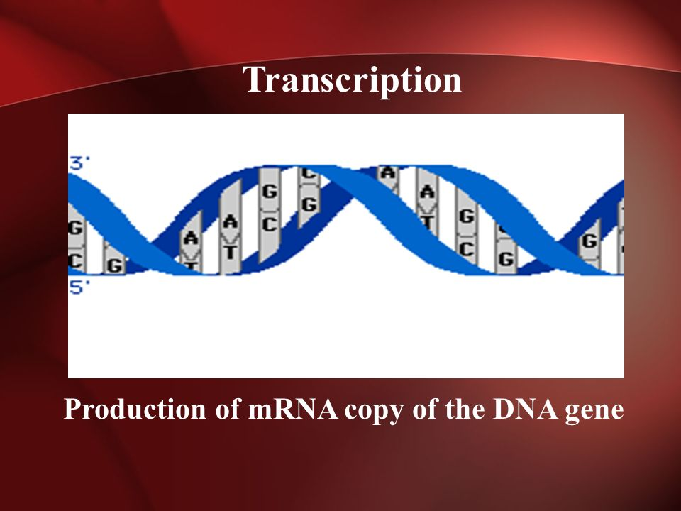 Production of mRNA copy of the DNA gene