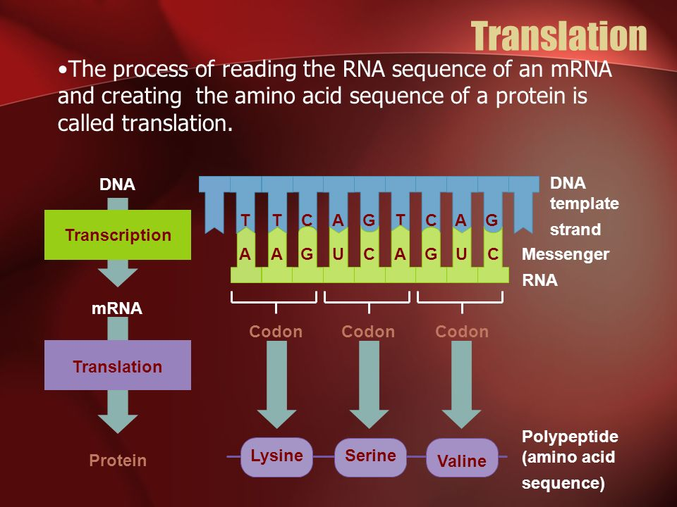 Translation The process of reading the RNA sequence of an mRNA and creating the amino acid sequence of a protein is called translation.