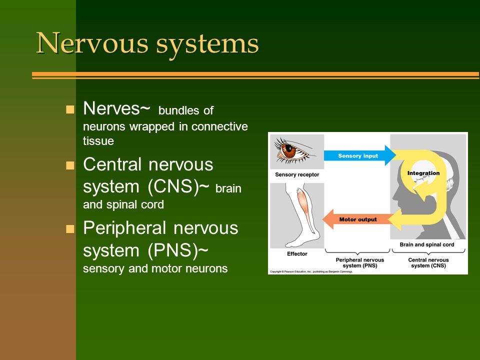 Nervous systems Nerves~ bundles of neurons wrapped in connective tissue. Central nervous system (CNS)~ brain and spinal cord.