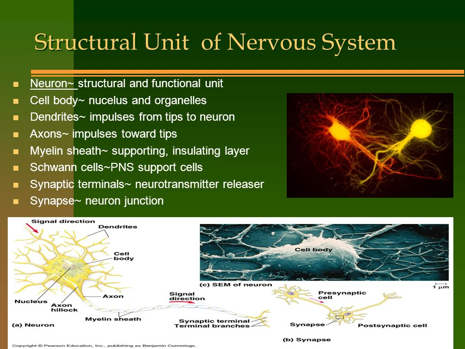 Structural Unit of Nervous System