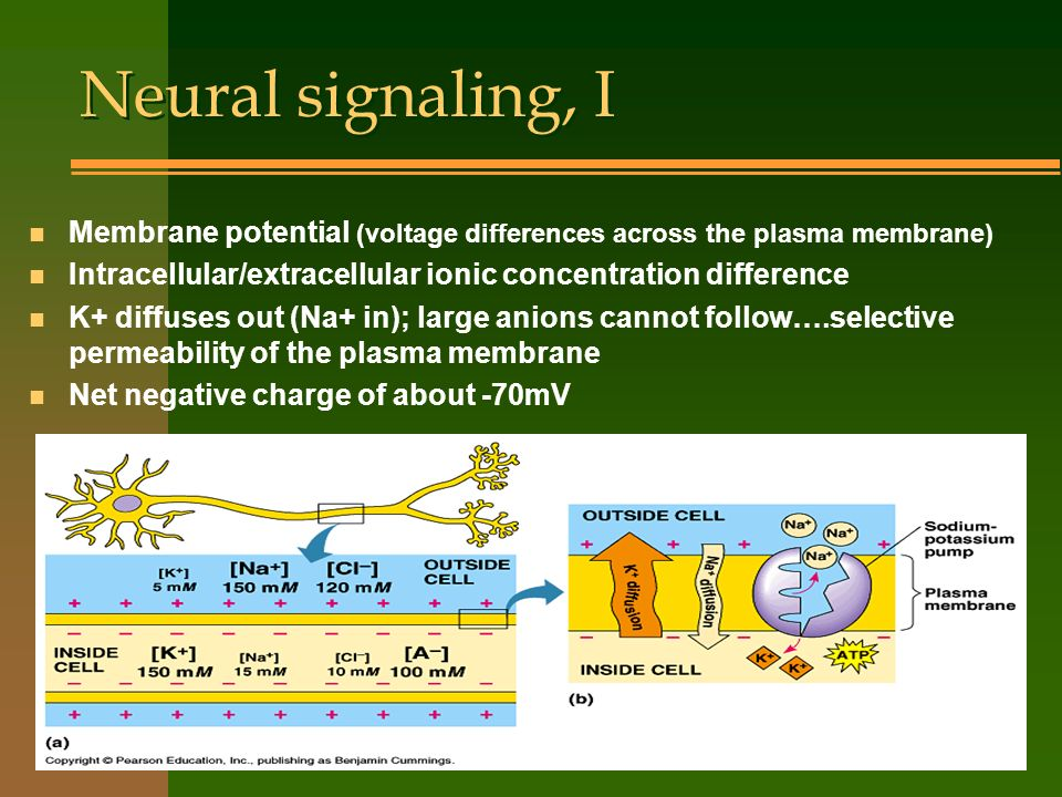 Neural signaling, I Membrane potential (voltage differences across the plasma membrane) Intracellular/extracellular ionic concentration difference.