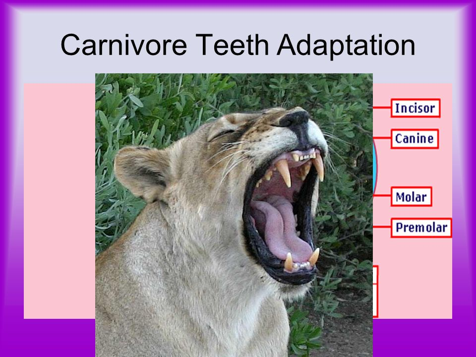Carnivore Teeth Adaptation