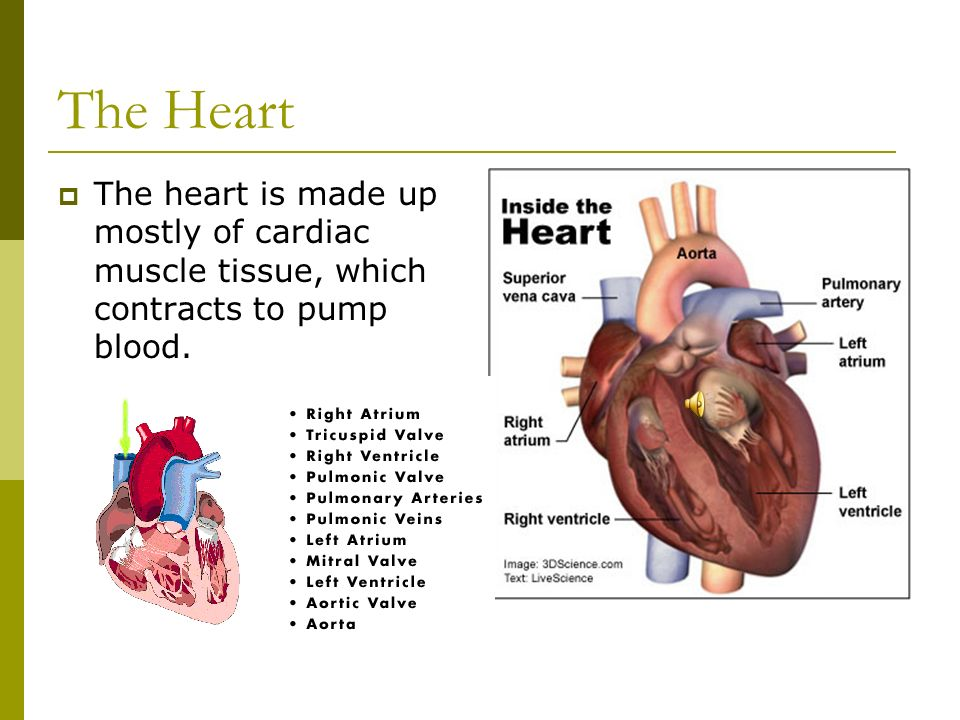 The Heart The heart is made up mostly of cardiac muscle tissue, which contracts to pump blood.