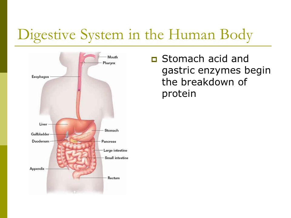 Digestive System in the Human Body