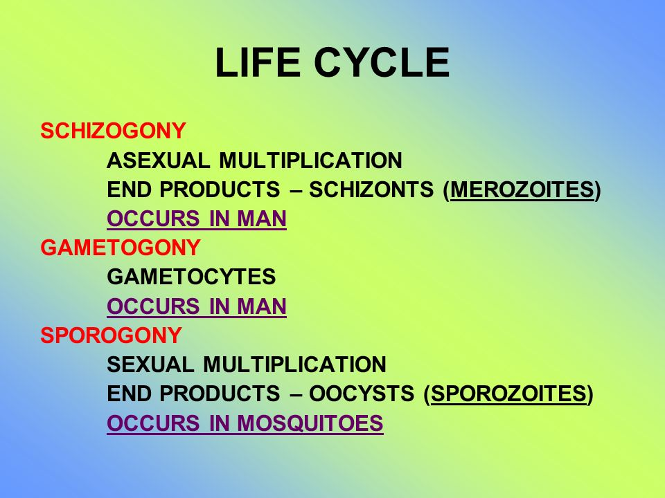 LIFE CYCLE SCHIZOGONY ASEXUAL MULTIPLICATION